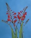 Lucifer Crocosmia Specialty Bulb