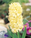 Yellow Queen orientalis Hyacinthus