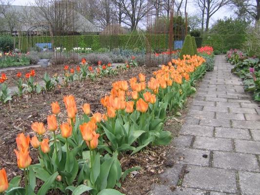 C.J. Zonneveld & Zonen B.V. - Fosteriana Orange Emperor Tulipa