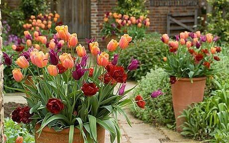 C j zonneveld zonen b v triumph jimmy tulipa for Cj garden designs