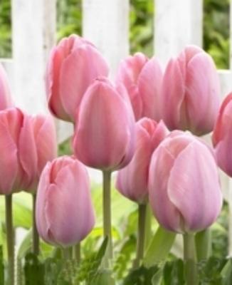 Tulip - Tulip Best