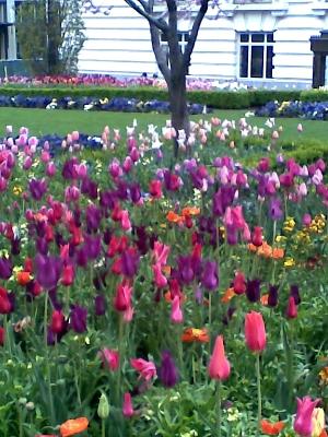 C j zonneveld zonen b v lily flowered purple dream for Cj garden designs