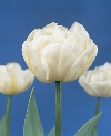 Mount Tacoma Late Double Late Tulipa