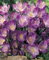 Flower Record Crocus vernus Specialty Bulbs