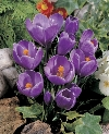 Grand Maitre Crocus vernus Specialty Bulbs