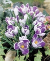 King of Striped Crocus vernus Specialty Bulbs