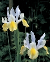Apollo Iris hollandica Specialty Bulbs