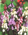 Mixed Hyacinthoides Specialty Bulbs