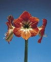 Minerva Large Flowering Hippeastrum