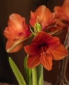 Orange Souvereign Large Flowering Hippeastrum