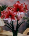 Showmaster Large Flowering Hippeastrum